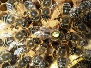 pszczoła krainka