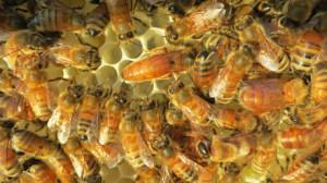 Pszczoła włoska